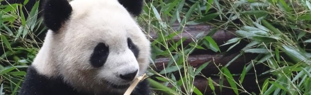 Panda – China