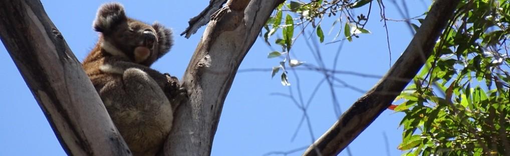 Koala – Australien