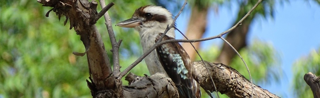 Kookaburra – Australien